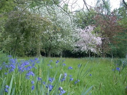 Bluebells in the Orchard Garden