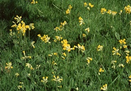 Cowslips in the orchard