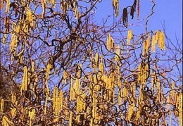 Catkins on Corkscrew Hazel