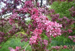 Crab apple trees in the orchard