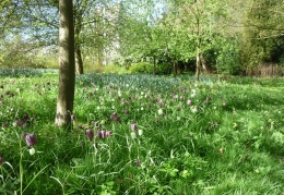 Snakeshead Fritillaries in the orchard, April
