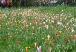 Species tulips in the cherry circle
