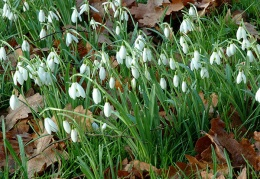 Snowdrops in the orchard